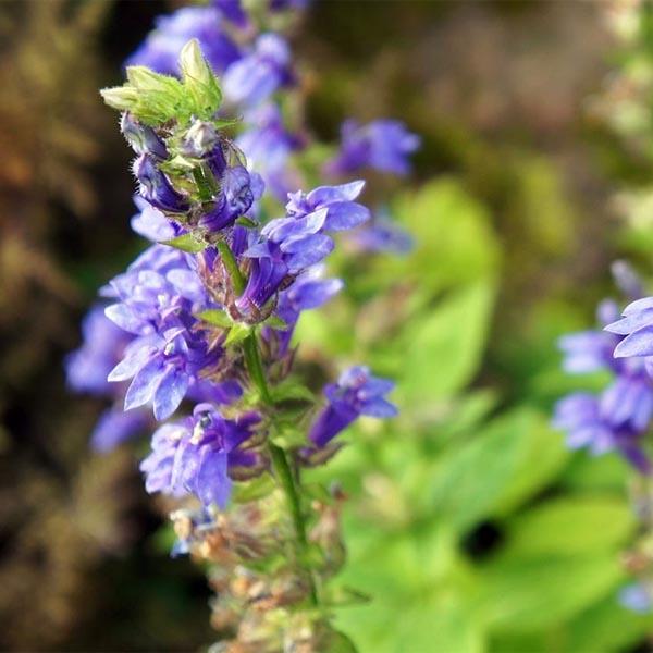 Hyssop 'Nectar Blue' (Hyssopus officinalis)