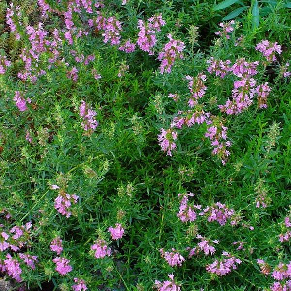 Hyssop 'Nectar Rose' (Hyssopus officinalis)