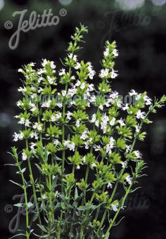 Hyssop 'Nectar White' (Hyssopus officinalis)