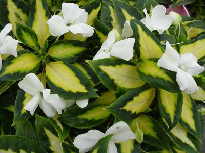Impatiens 'Painted Paradise White'