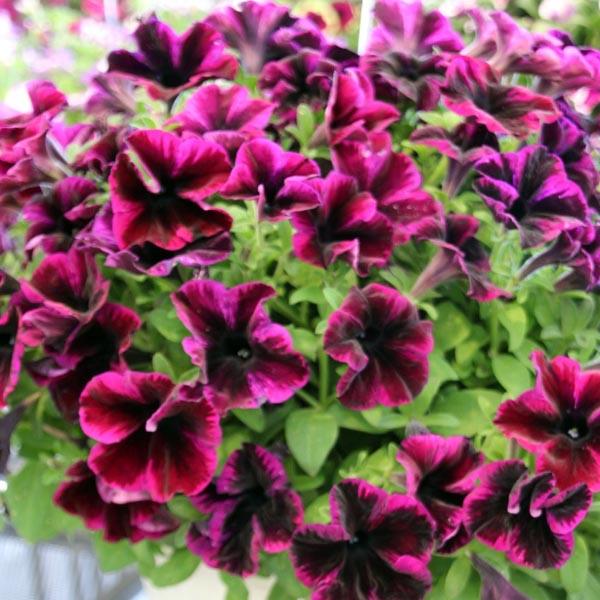 Petunia 'Crazytunia Cosmic Purple'