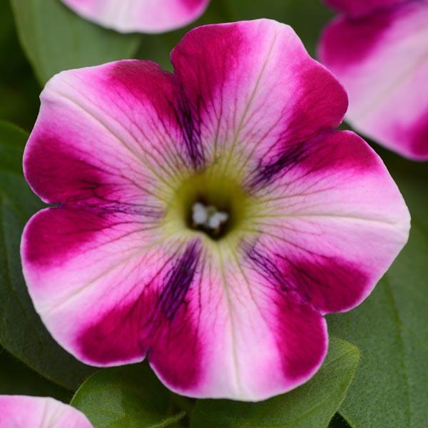 Petunia 'Headliner Raspberry Swirl'