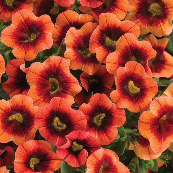 Petunia 'Calibrachoa Superbells Tangerine Punch'