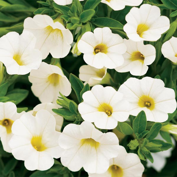 Petunia 'Calibrachoa Superbells White'