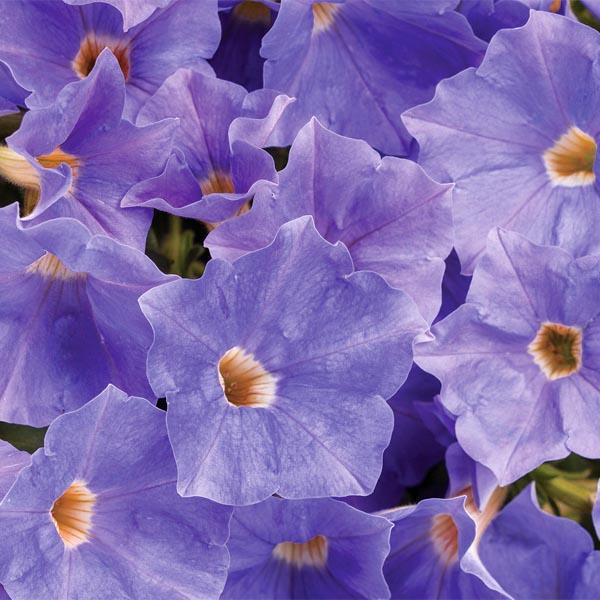 Petunia 'Supertunia Blue Skies'