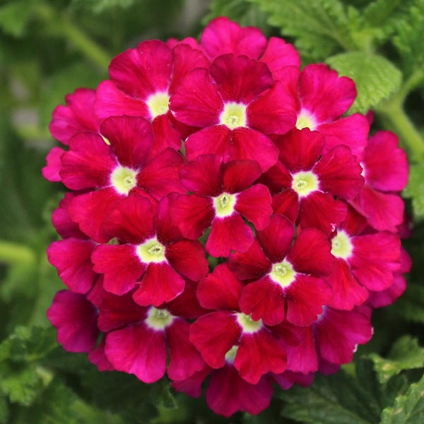 Verbena 'Firehouse Burgundy'