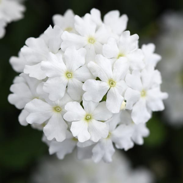 Verbena 'Firehouse White'