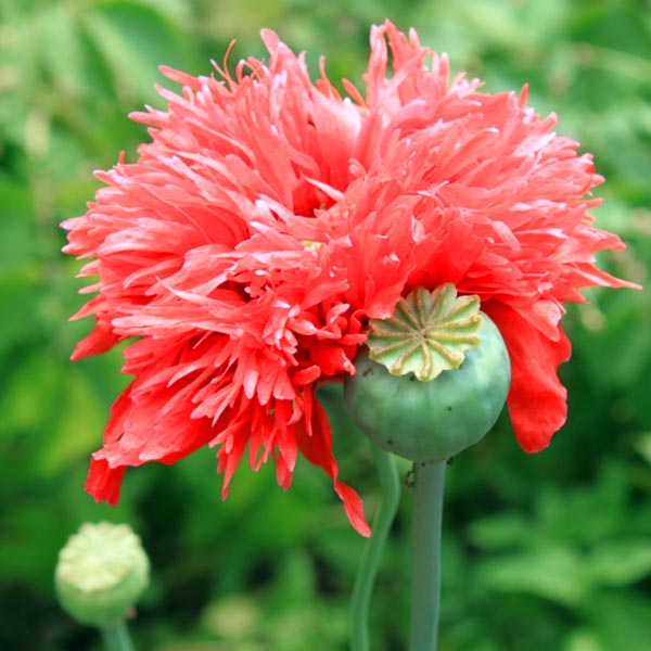 Papaver laciniatum 'Double Shred Red'