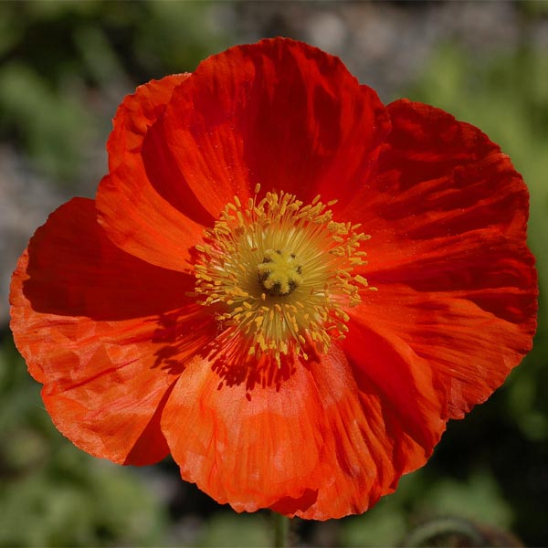 Papaver laciniatum 'Fringed Red Single'