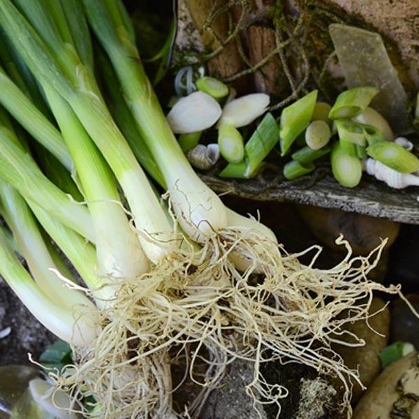 Onion 'Summer Island' scallion