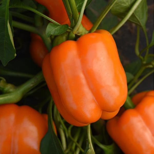 Pepper (Sweet) 'Orange Marmalade' Bell
