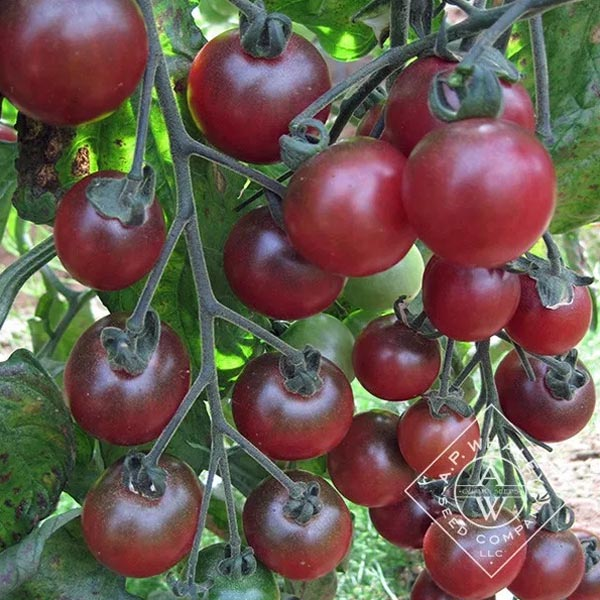 Tomato 'Rosella' Cherry Tomato