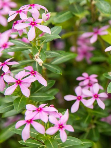 Catharanthus 'Soiree® Kawaii Lavender'