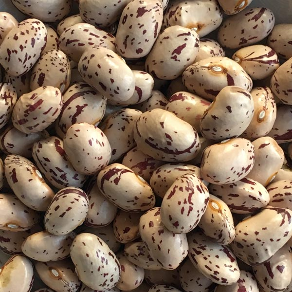 Heirloom Bean 'Borlotto Gaston' Dry Pole Bean