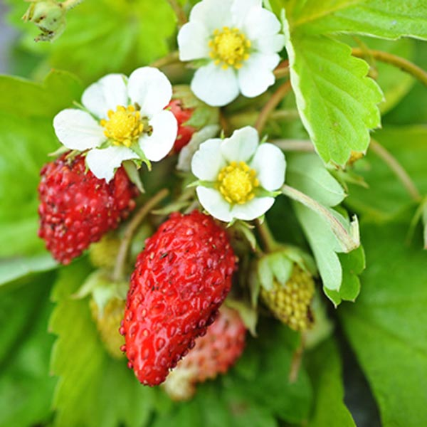 Strawberry, Alpine 'Golden Alexandria'