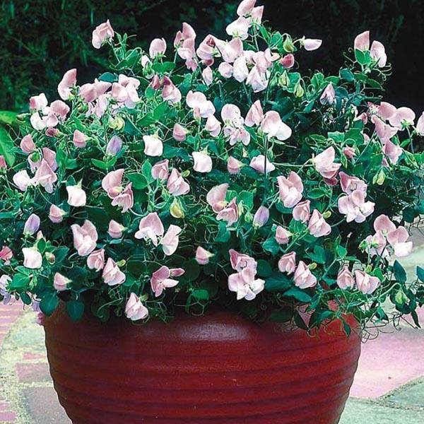 Lathyrus odoratus 'Cupid Rose' Dwarf Sweet Pea