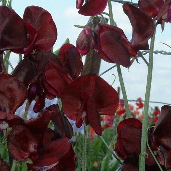 Lathyrus odoratus 'Spencer Midnight' Spencer Sweet Pea