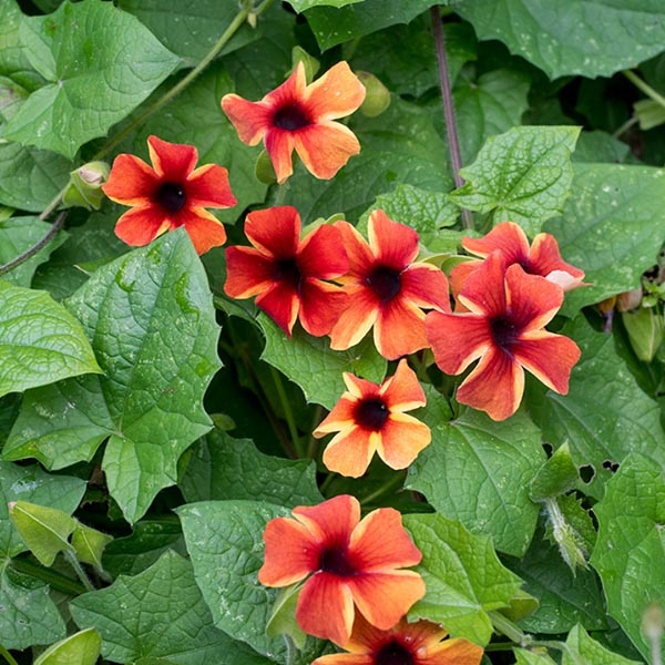 Thunbergia 'Sunny Susy Amber Stripes'