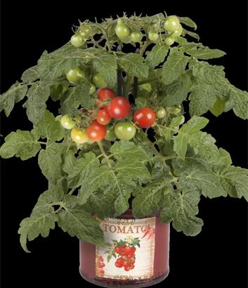 Tomato 'Kitchen Minis Siam'