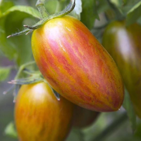 Tomato 'Lucky Tiger' Tomato