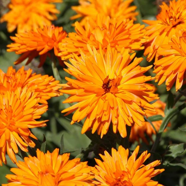 Calendula officinalis 'Calexis Orange'