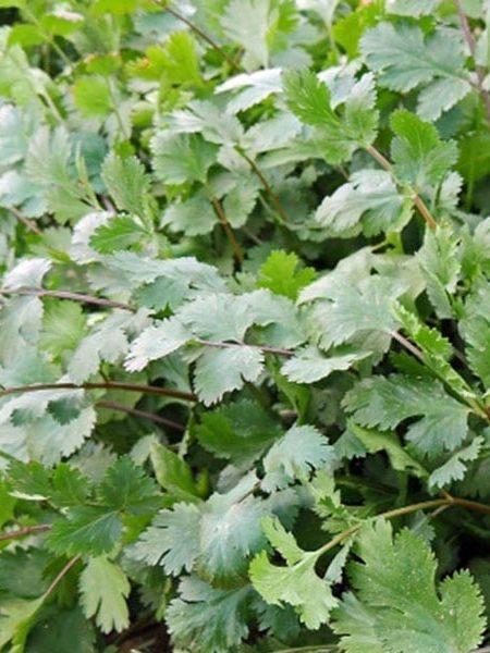 Cilantro 'Desert Blush' (Coriandrum sativum)