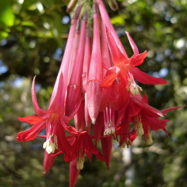Upright fuchsia 'Boliviana'