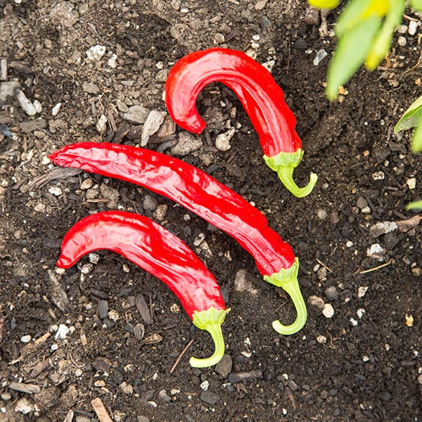 Heirloom Pepper (Hot) 'Hatch Sandia'