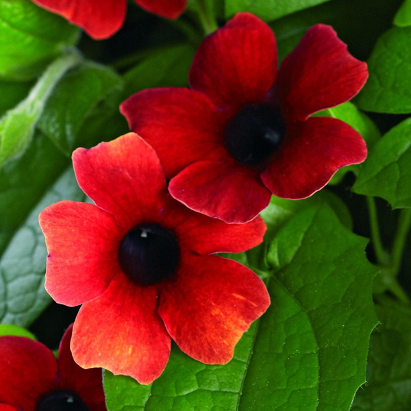 Thunbergia 'Arizona Glow'