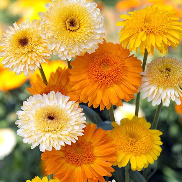 Calendula officinalis 'Kinglet Scabiosa Mix'