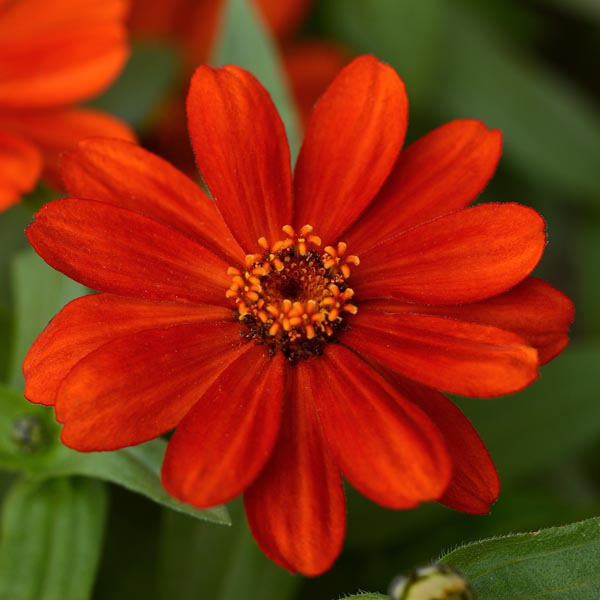Zinnia marylandica 'Zahara Red'