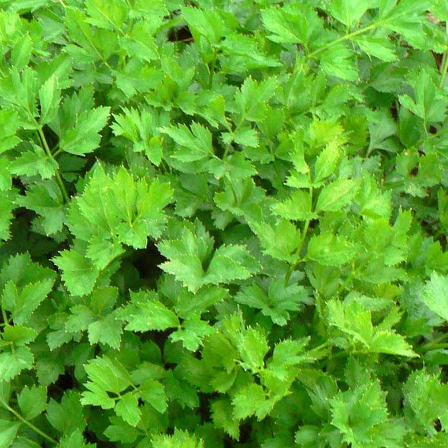 Celery 'Afina'