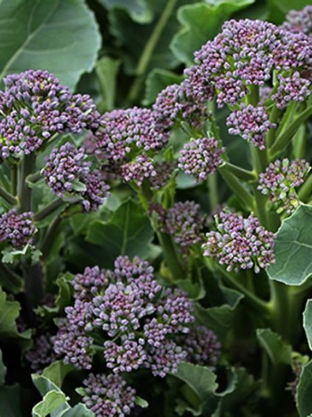 Broccoli 'Purple Sprouting'