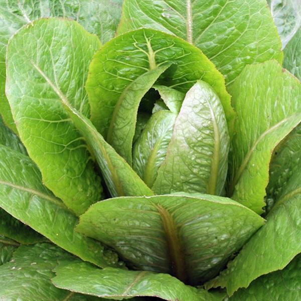Lettuce 'Brown Goldring' romaine