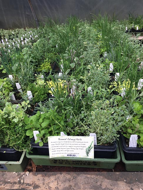 Culinary Herb Half Flats