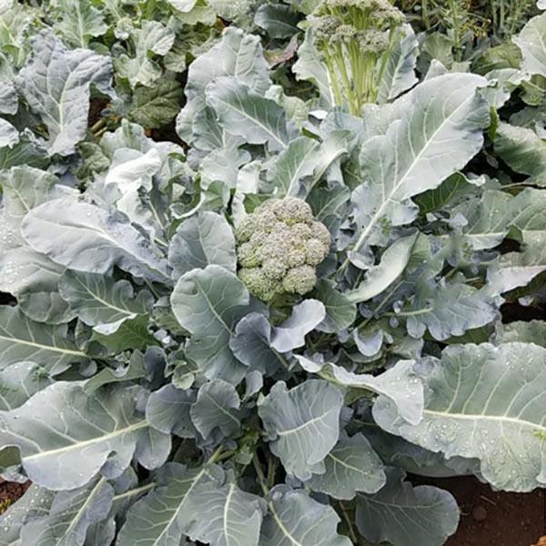 Broccoli 'Montebello'