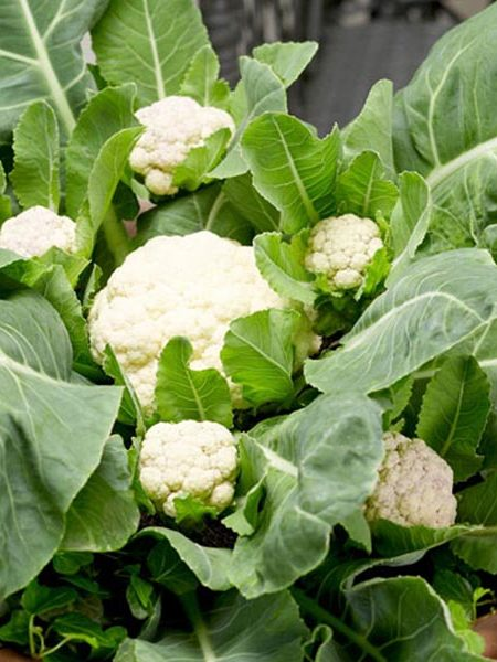 Cauliflower 'Multi-Head' F1