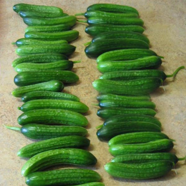 Cucumber 'Adam' F1 Slicing