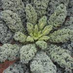 Kale 'Arun' F1
