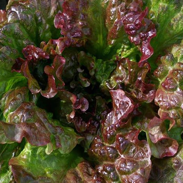 Lettuce 'Red Dog' Looseleaf