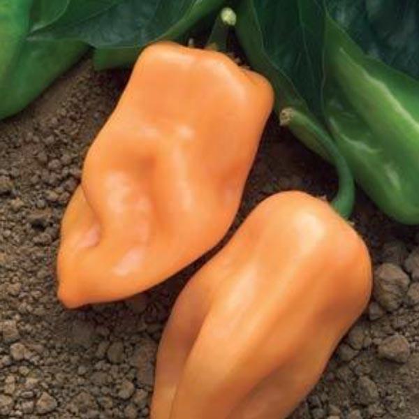 Pepper (Hot) 'Burning Bush' habanero