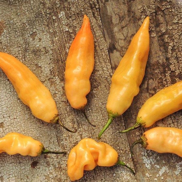 Pepper (Hot) 'Sugar Rush Peach'