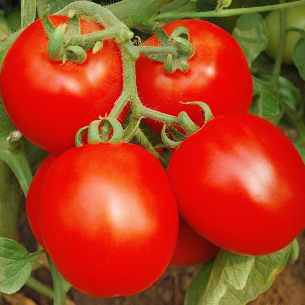 Tomato 'Invincible'