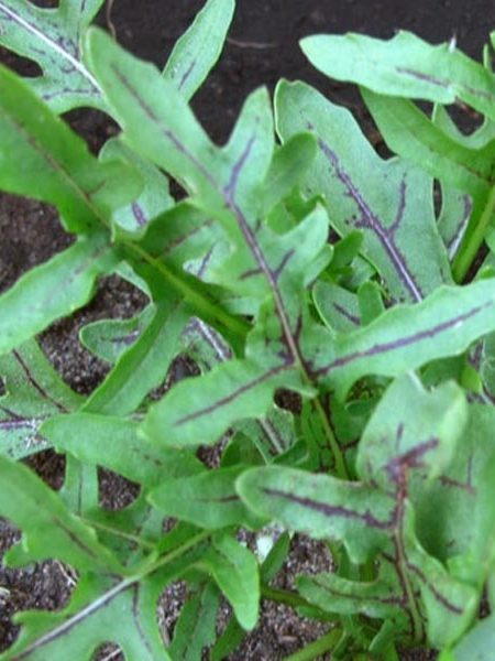 Arugula 'Red Dragon'