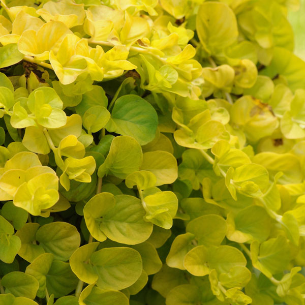 Lysimachia 'Goldilocks'
