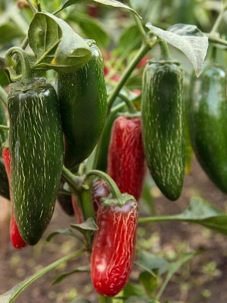 Pepper (Hot) 'Early Jalapeno' Grafted Mighty Veggie