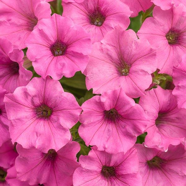 Petunia 'Supertunia Mini Vista Hot Pink'
