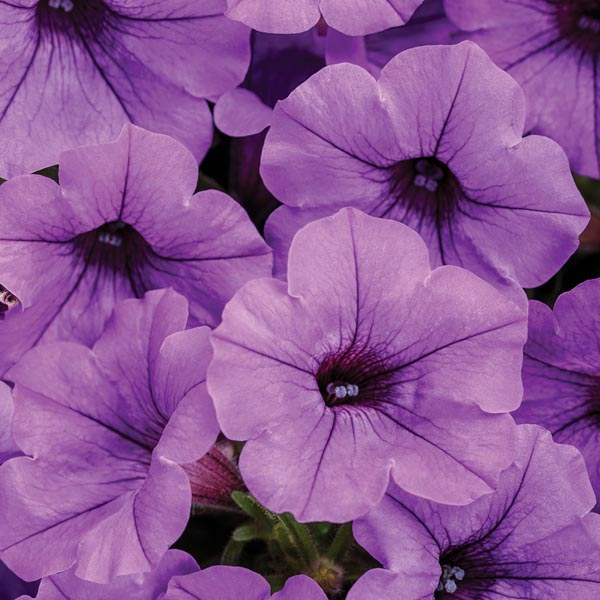 Petunia 'Supertunia Mini Vista Indigo'