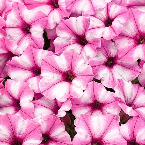 Petunia 'Supertunia Mini Vista Pink Star'