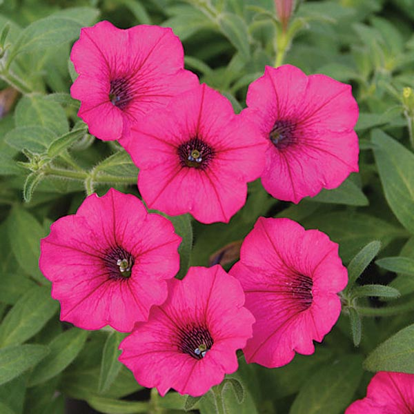 Petunia 'Supertunia Mini Vista Sangria'